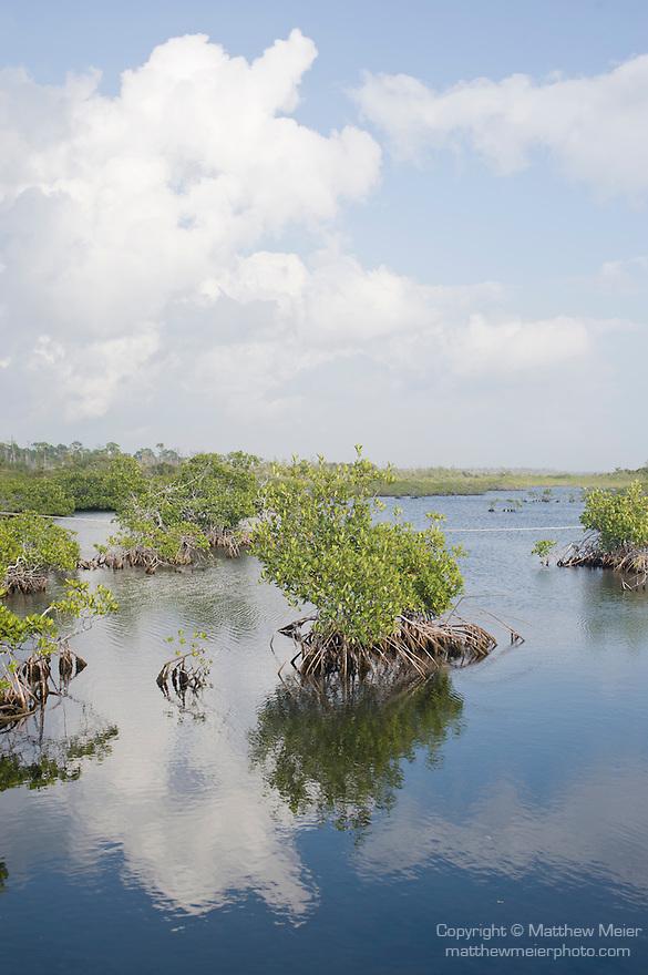 Grand Bahama Island, The Bahamas; Red Mangrove (Rhizophora mangle) plants in Gold Rock Creek break up the mirrored reflection of cloud formations on the water's surface, the creek runs through the Lucayan National Park