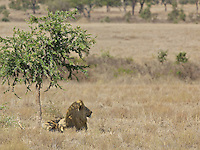 Large blond male lion rests in the meager shade