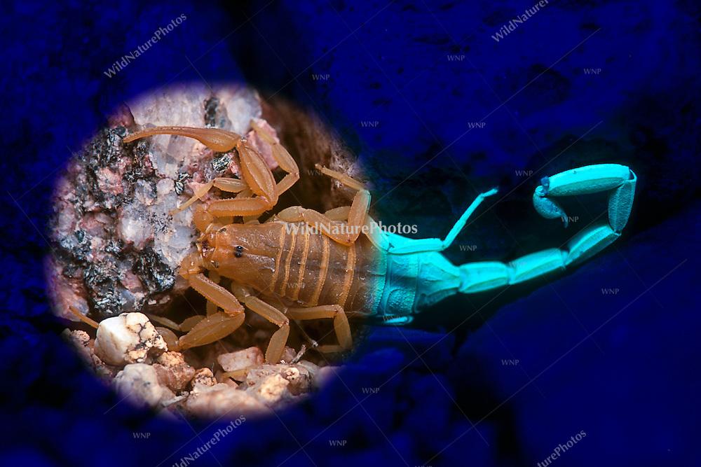 Bark Scorpion (Centruroides exilicauda) under both visible