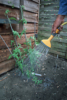 Using garden hose and sprayer head to water a newly planted vine by hand, showing man's arm, garden chore, last step of planting in the garden