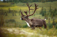 Bull caribou with velvet on antlers on tundra in Denali National Park, Alaska  Summer<br /> <br /> Photo by Jeff Schultz/SchultzPhoto.com  (C) 2018  ALL RIGHTS RESERVED<br /> <br /> Amazing Views-- Into the wild photo tour 2018