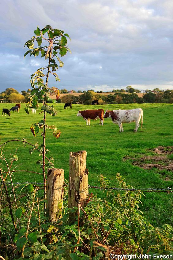 Evening light, Cuddington, Cheshire....Copyright..John Eveson, Dinkling Green Farm, Whitewell, Clitheroe, Lancashire. BB7 3BN.01995 61280. 07973 482705.j.r.eveson@btinternet.com.www.johneveson.com