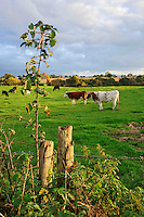 Evening light, Cuddington, Cheshire....Copyright..John Eveson, Dinkling Green Farm, Whitewell, Clitheroe, Lancashire. BB7 3BN.01995 61280. 07973 482705.j.r.eveson@btinternet.com.www.johneveson.com