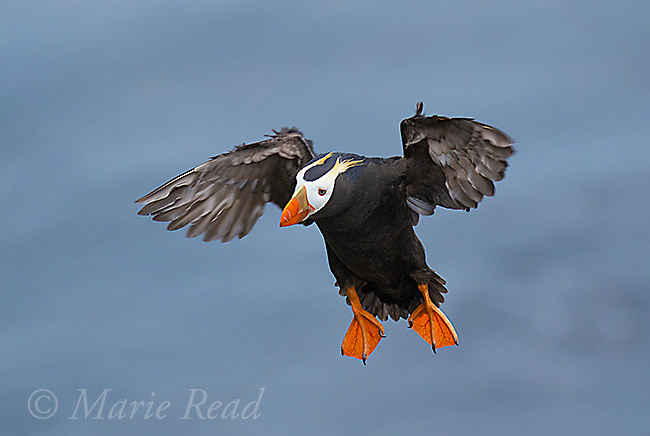 Tufted Puffin (Fratercula cirrhata) flying in to land, St. Paul Island, Pribilofs, Alaska, USA