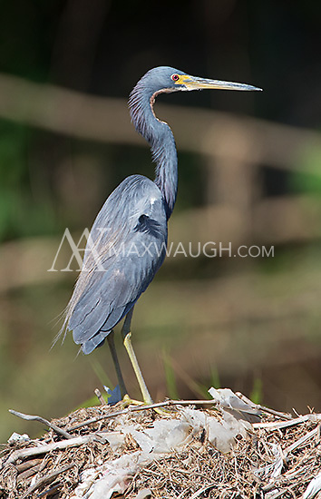The tricolored heron, yet another heron species found on the Rio Tarcoles.