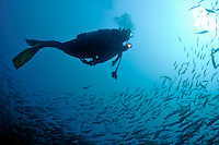 Scuba diver swimming by school of fishes (Licence this image exclusively with Getty: http://www.gettyimages.com/detail/91537168 )
