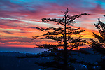 Sugar pine silhouette during a crimson sunset, Panther Creek headwaters, Amador County, Calif.