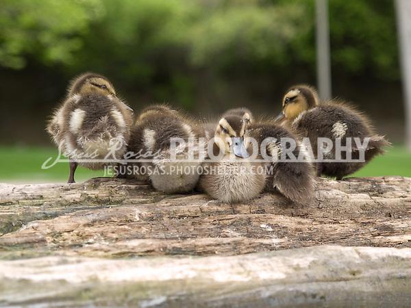 Baby ducks.