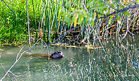 2017-07-19_Urban Wildlife_Beaver
