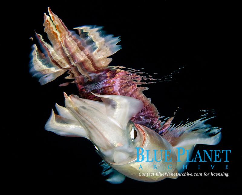 neon flying squid, Ommastrephes bartramii, found during offshore blackwater dive in Kona Coast, Big Island, Hawaii, USA, Pacific Ocean