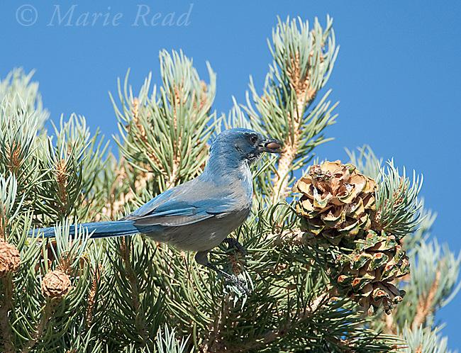 Western Scrub-jay (Aphelocoma californica), gathering Pinyon Pine seeds, Mono Lake Basin, California, USA