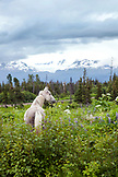 ALASKA, Homer, a horse in a pasture, East End Road near Kachemak City