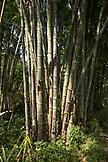 INDONESIA, Flores, large bamboo on the roadside near Wangka village