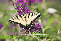 03023-02910 Eastern Tiger Swallowtail Butterfly (Papilio glaucus) on Butterfly Bush (Buddleia davidii), Marion Co., IL