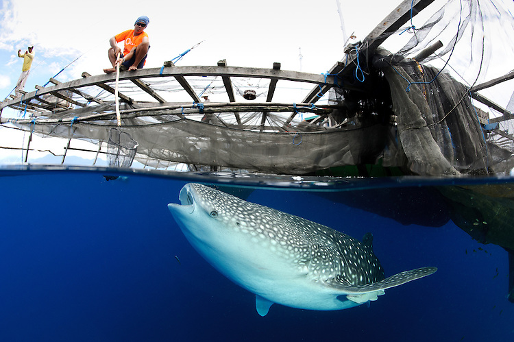 A whale shark (Rhincodon typus), under a traditional fishing platform (bagan) in Cenderawasih Bay, Papua, Indonesia.  This image documents the relationship that has developed between local fishermen and whale sharks.  The whale sharks are attracted to the semi-permanently moored fishing platforms by the nets full of anchovies which hang beneath, after the previous nights fishing. During the course of the day the fishermen discard unsuitable catch and take pleasure in watching the whalesharks feed on the discarded dead fish, even entering the water to swim with them on occassion.  They believe the whale sharks bring them luck,