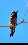 Anna's Hummingbird Male, Sepulveda Wildlife Refuge, Southern California