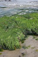 Darmtang, Flacher Darmtang, Gewöhnlicher Darmtang, Grünalge, Alge, Meeresalge, Tang, am Spülsaum der Nordsee, am Strand, im Gezeitenbereich, Enteromorpha cf. compressa, Enteromorpha cf. intestinales, Ulva cf. compressa, Ulva cf. intestinalis, Enteromorpha cf. complanata, green macroalgae, Seaweed, gutweed, gut-weed, gut weed, grass-kelp