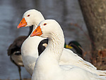 Pair of Embden Geese.