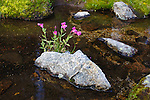 Monkeyflower growing on a rock surrounded by water in montana