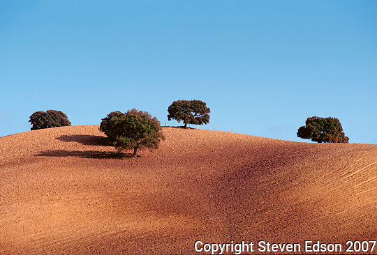 Olive Trees,Andalucia, Spain