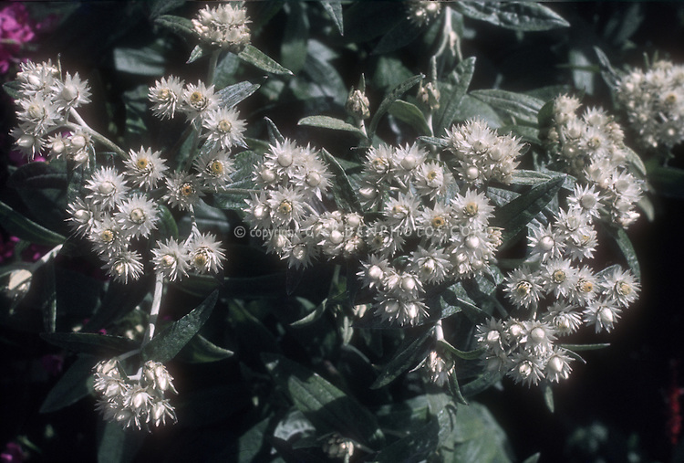 Anaphalis triplinervis, commonly called triple-nerved pearly everlasting is an Asian species of flowering herbaceous perennial plant in the sunflower fammily, native to the Himalayas.