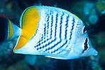 Chaetodon madagaskariensis; madagascar butterflyfish