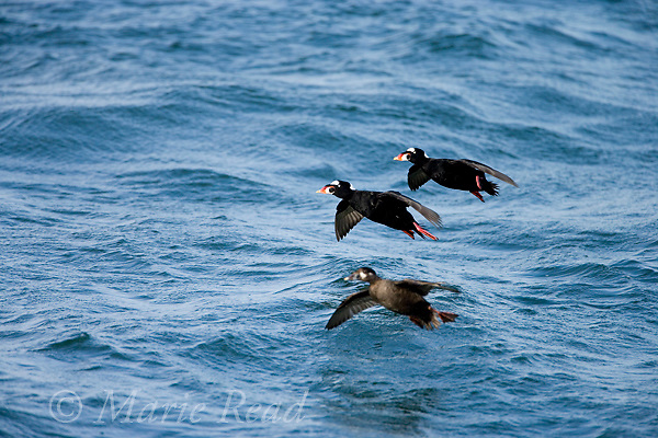 Surf Scoters (Melanitta perspicilllata) two males and female, landing on water, Barnegat Inlet, New Jersey, USA