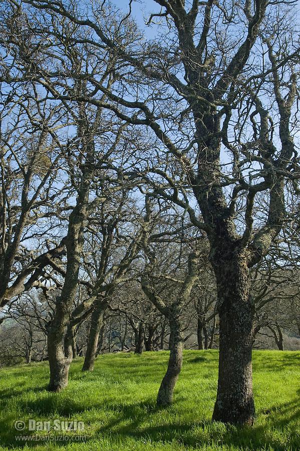 Deciduous oaks, Quercus sp. Mount Diablo State Park, California