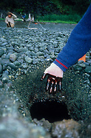 Remaining crude oil from the Exxon Valdez Oil spill trapped under rocks on a beach years after the spill, 1991. Herring Bay, Knight Island, Prince William Sound, Alaska