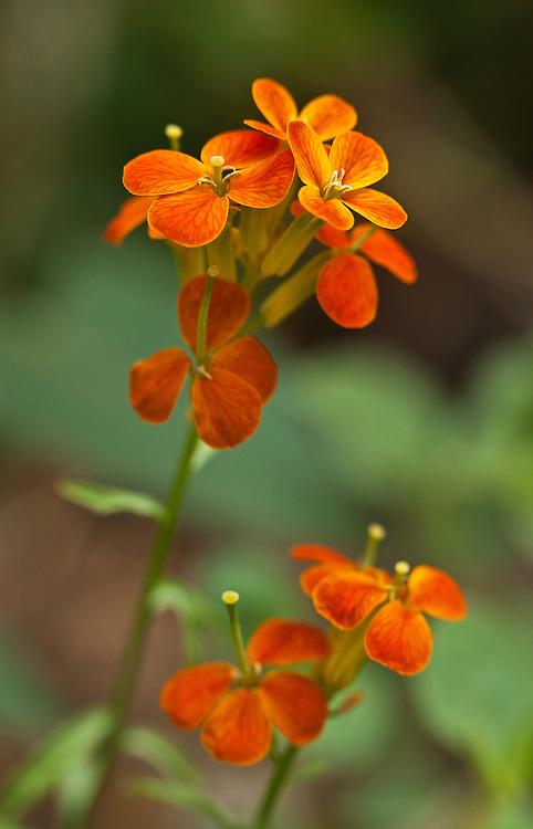 Western wallflower (Erysimum capitatum) blooms near Workman Creek