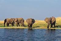 African Elephant (Loxodonta africana) herd feeding along edge of Lake Kariba, Matusadona National Park, Zimbabwe.