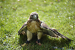 Old Westbury, New York, U.S. - August 23, 2014 - A red-tailed hawk (Buteo jamaicensis) standing in the grass is from WINORR, Wildlife in Need of Rescue and Rehabilitation, at the 54th Annual Long Island Scottish Festival and Highland Games, co-hosted by L. I. Scottish Clan MacDuff, at Old Westbury Gardens. WINORR is run by the Horvaths, licensed animal rehabilitators in North Massapequa.