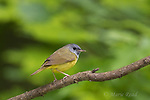 Mourning Warbler (Oporornis philadelphia), male in spring, Caroline, New York, USA
