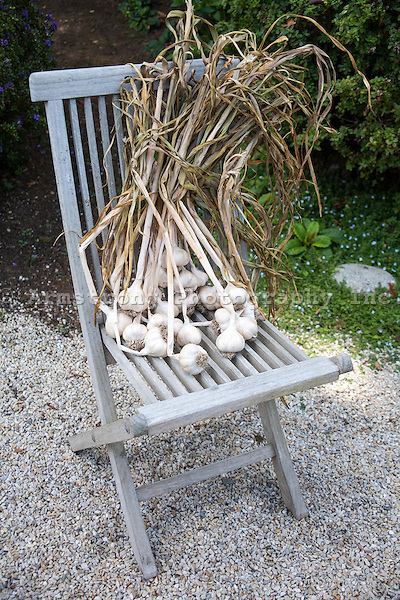 Heads of garlic with stalks attached, freshly harvested from a garden, outside on a wooden chair.