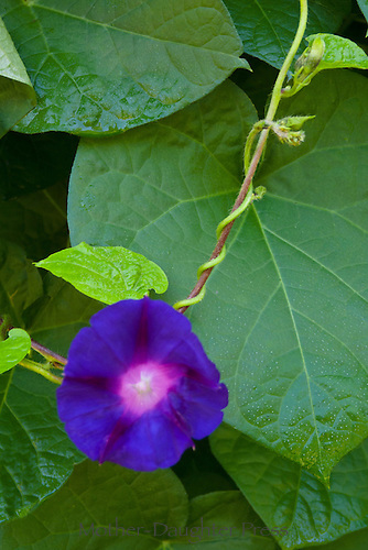 Morning glory and vine in summer garden, Maine