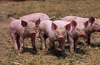 Europe/France/Pays de la Loire/85/Vendée/La Chapelle-Hermier: Elevage de porcs fermiers de Vendée chez Monsieur Meriau