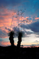 A Yucca (Yucca elata) aka - Soapweed, Soaptree Yucca, in silhouette under a desert sky at sunset. Arizona.