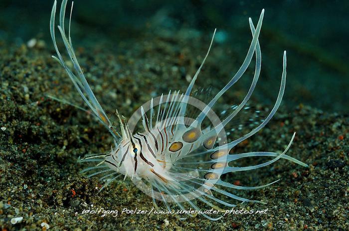 Juvenile Pterois volitans, Gewoehnlicher Rotfeuerfisch, Jungtier, juvenile Common lionfish, Red lionfish, Desa Umeanyar, Purijati, Desa Umeanya, Bali, Indonesien, Indopazifik, Asien,  Indonesia, Indo-Pacific Ocean, Asia