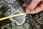 Measuring the diameter of the lichen to determine the age of the moraine.