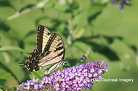03023-03109 Eastern Tiger Swallowtail (Papilio glaucaus) on Butterfly Bush (Buddleja davidii) Marion Co. IL