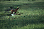 An elk calf runs across a creek.