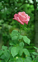 Pink long stemmed rose in full bloom, in the Royal Garden the Alhambra in Grenada Spain, a UNESCO World Heritage Site