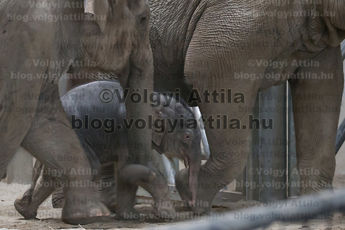 Three days old captive born baby elephant (C) is introduced to members of the media the first time after its mother Angele (R) gave birth on 8th November in the City Zoo in Budapest, Hungary on Nov. 10, 2017. ATTILA VOLGYI