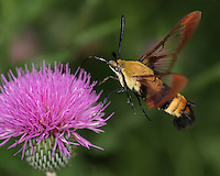 Commonly called common clear-wing, hummingbird moth, sphinx colibri. This wonderful creature will hover next to a flower then quickly roll up its feeding tube to fly away...