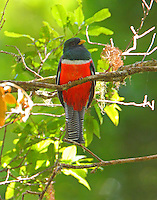 Adult male collared trogon in primal oak forest high above Savegre River.