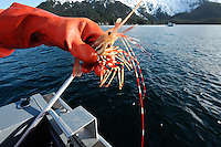Dug Huntman holds a newly-caugth shrimp in Passage Cannal near Decision Point, in Prince William Sound, Southcentral Alaska outside Whittier, on a sunny spring evening in early May. MR