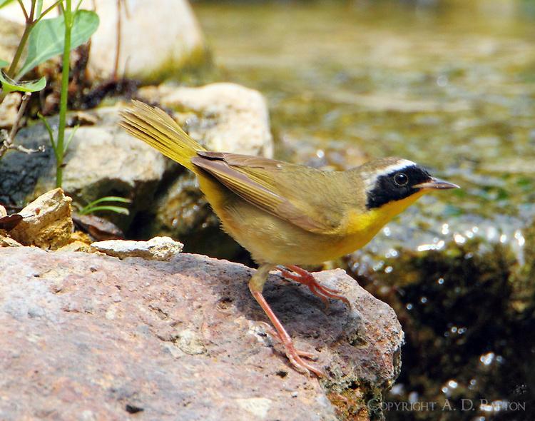 Adult male common yellowthroat