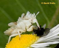 0910-0805  Ambush Bug Nymph Consuming Prey - Phymata spp. Virginia - © David Kuhn/Dwight Kuhn Photography.