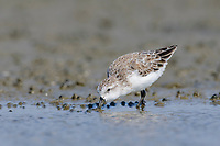 Spoon-billed Sandpiper (Eurynorhynchus pygmeus) presumed to be feeding on biofilm. Rakhnine State, Myanmar. January.