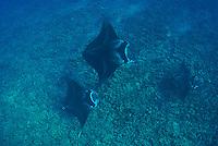 Three mantas gliding over Ukumehame reef Maui Hawaii.